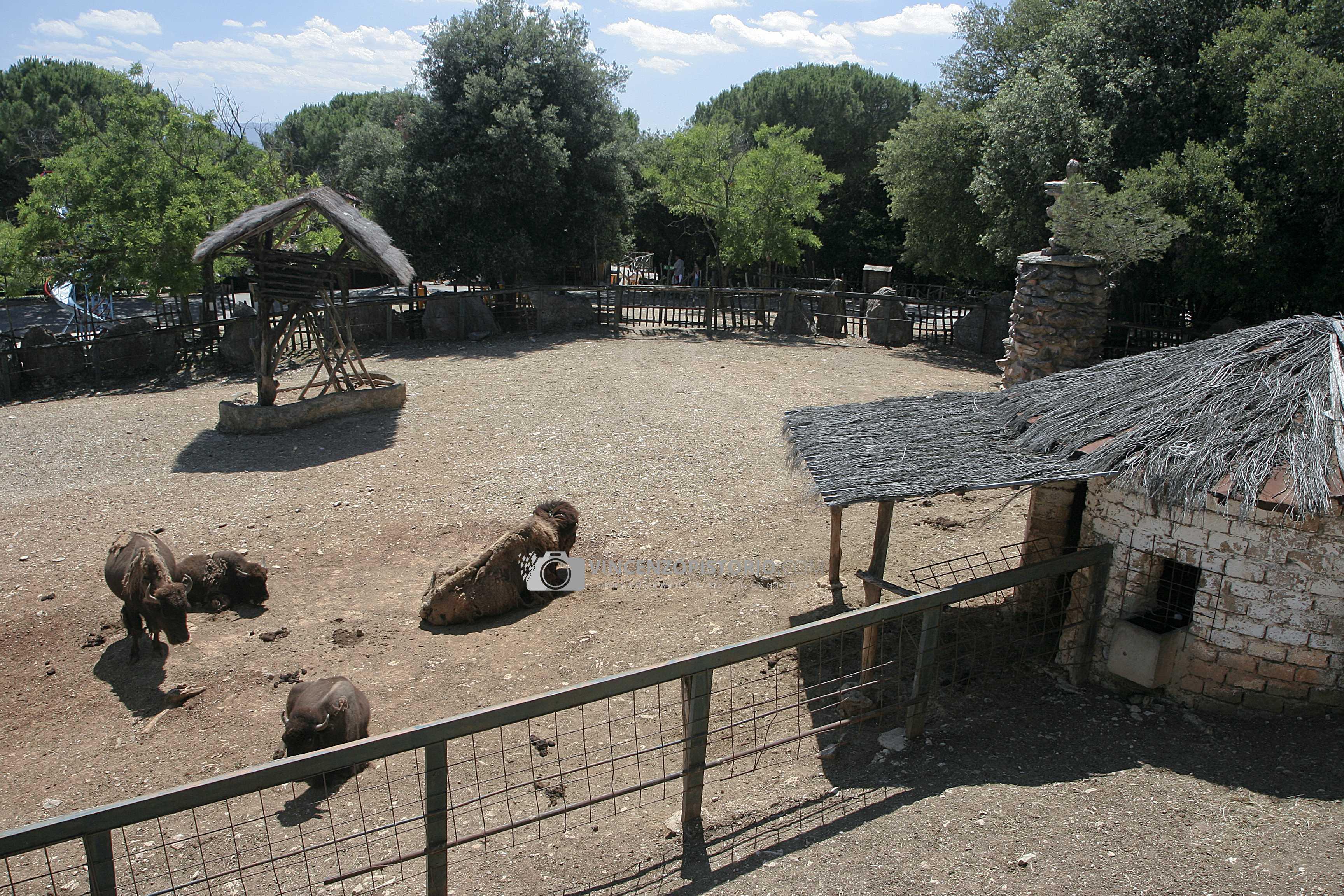 Buffalos – 1