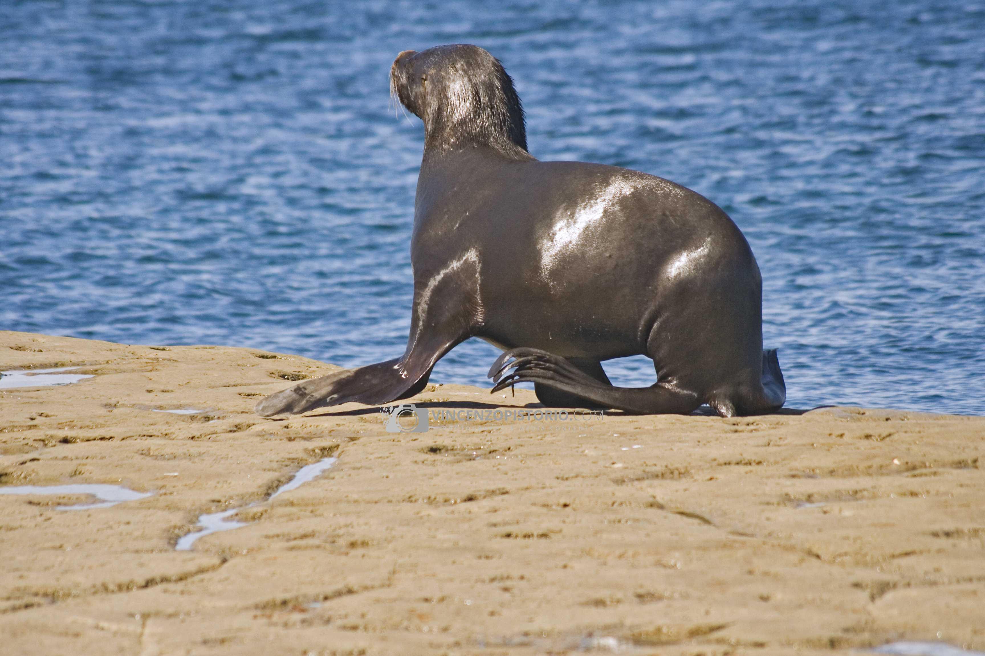 A sea lion walking