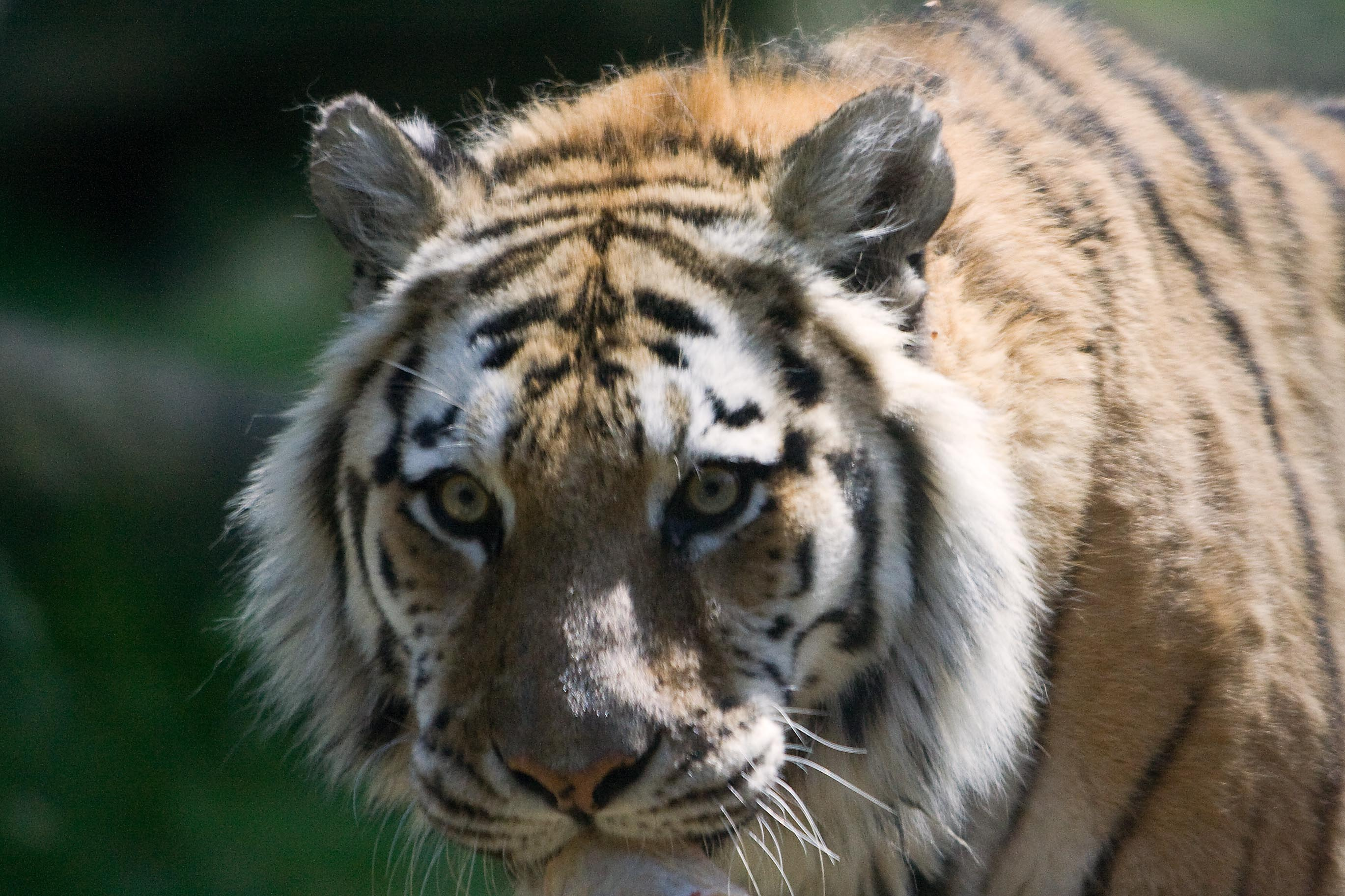 Amur, the Siberian Tiger