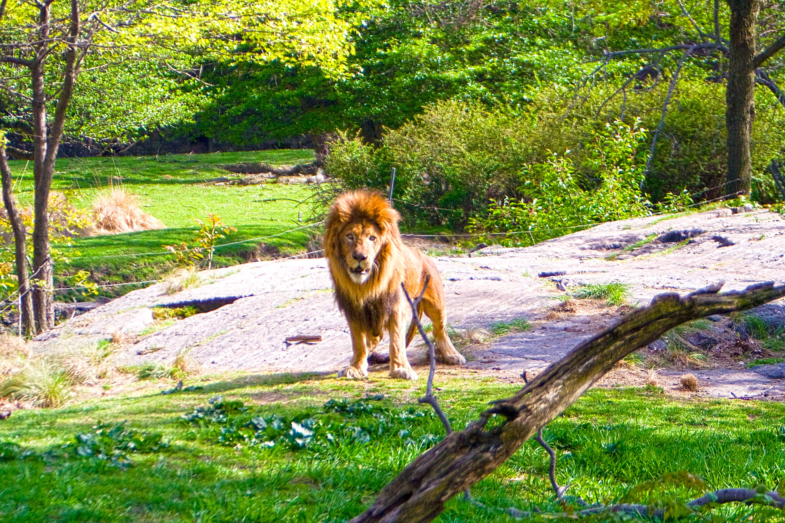 The Lion at Bronx Zoo – HDR