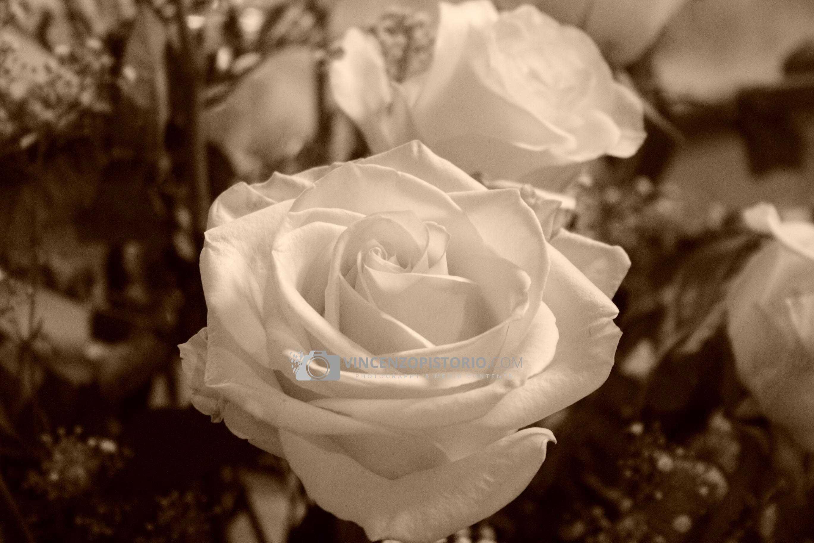 S. Lorenzo – a white rose